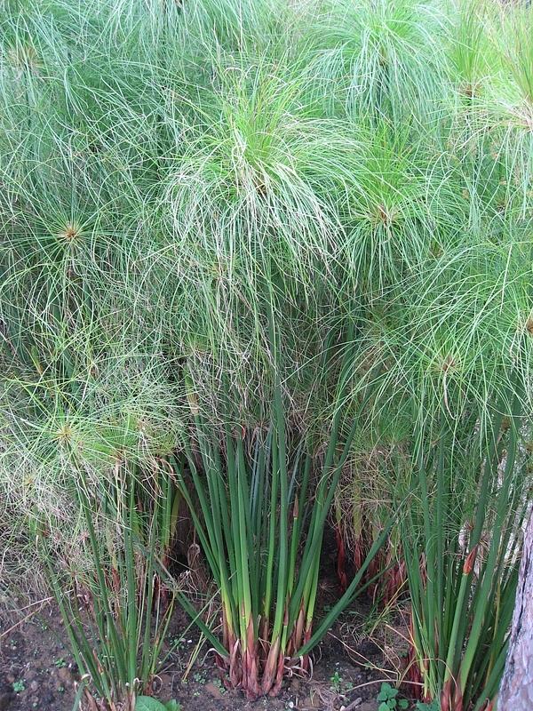 Botanik: Papyrus (Cyperus papyrus), Stängel quer *