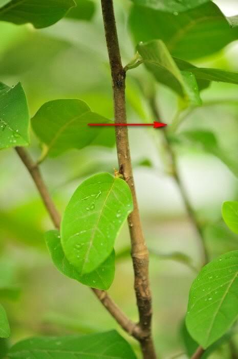 botanik spross der magnolia sieboldii im querschnitt. Black Bedroom Furniture Sets. Home Design Ideas