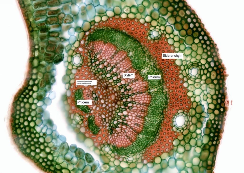 Botanik: Efeu-Blatt (Hedera Helix