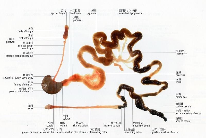 HISTOLOGIE: Sekretionsgranulat im Pankreas eine Ratte