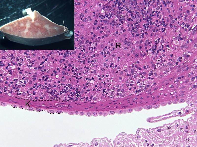 HISTOLOGIE: Sternhimmelzellen (Makrophagen) in die Milz eine Ratte