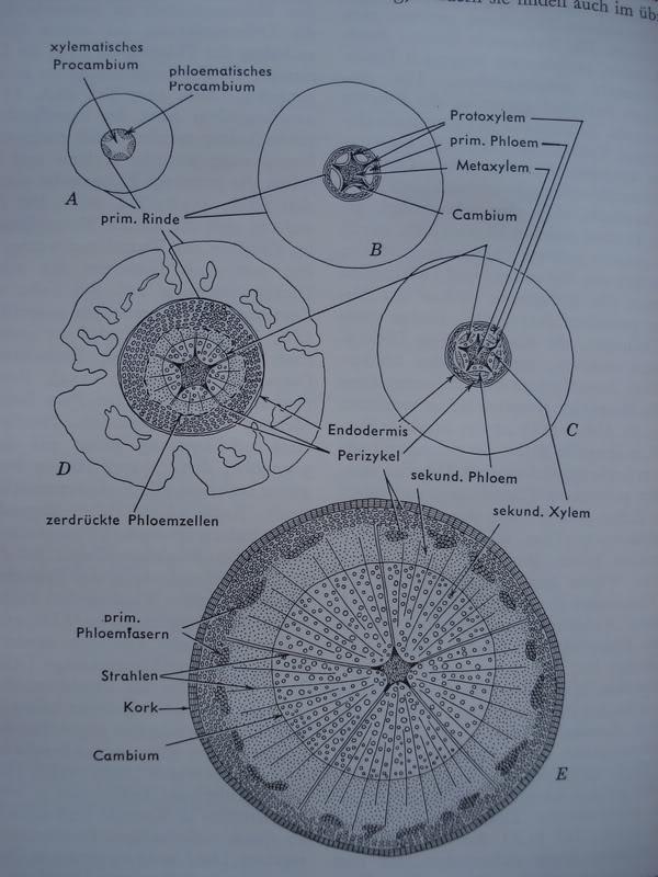 Erfreut Pflanzenanatomie Esau Zeitgenössisch - Anatomie Von ...