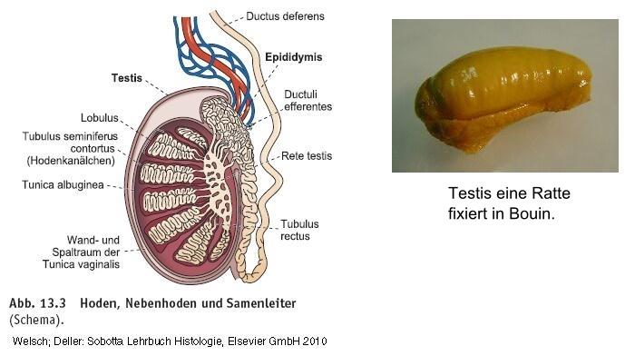 HISTOLOGIE: Epididymis oder Nebenhoden eine Ratte