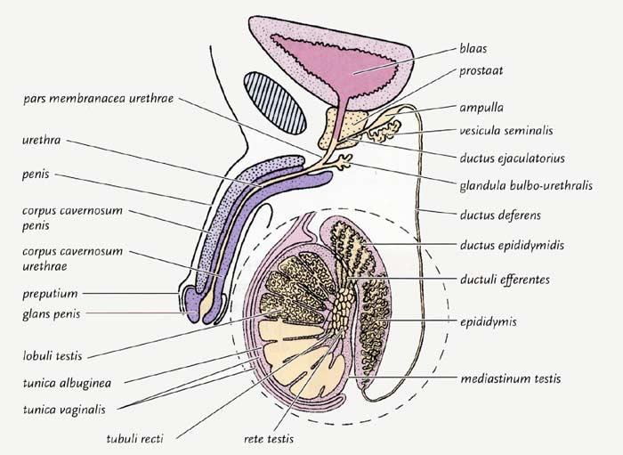 HISTOLOGIE: Hoden der Maus, Spermatogonese und Fluoreszenz