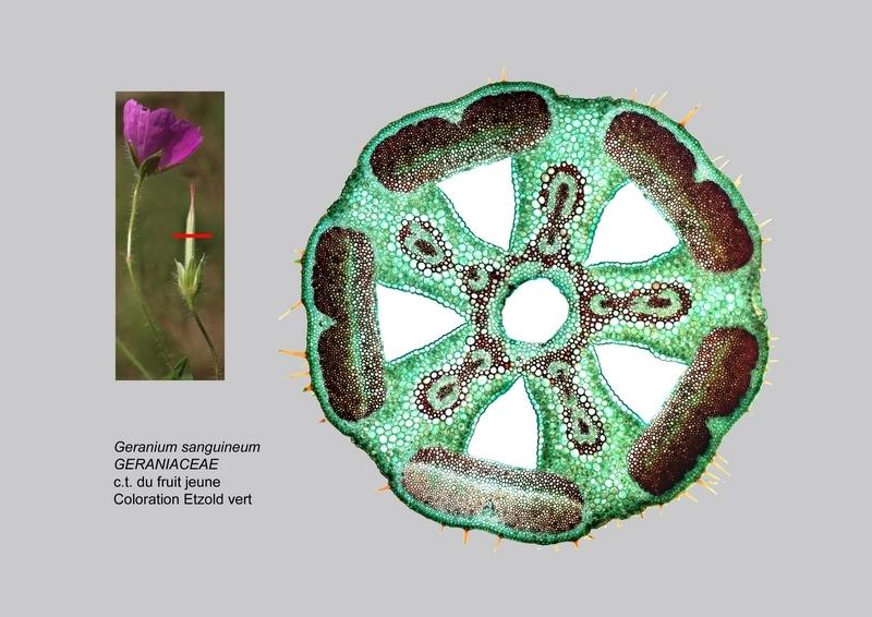 Botanik: Stinkender Storchenschnabel Geranium robertianum *