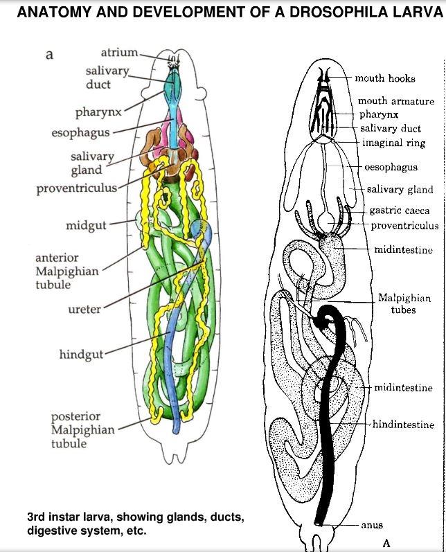 Drosophila larva anatomy 3259311 - follow4more.info