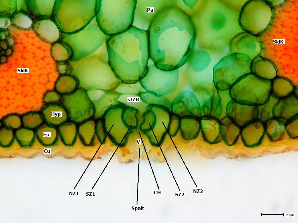 Botanik: Blatt der Igel-Agave (Agave stricta) *