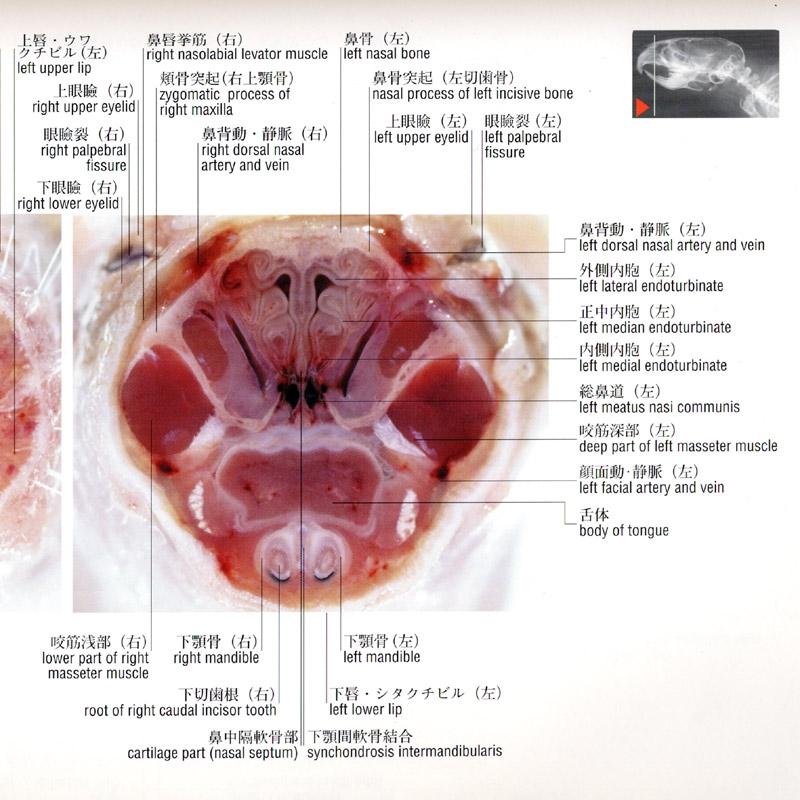HISTOLOGIE: Nasenhöhle mit Flimmerzellen und Zilien