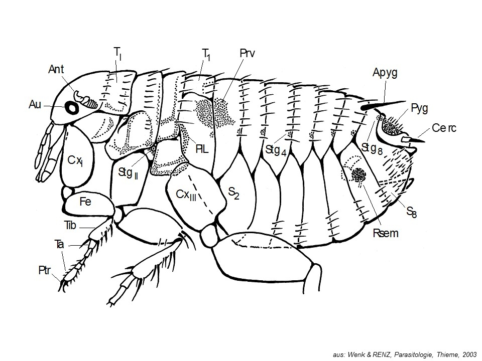Floh (Siphonaptera)