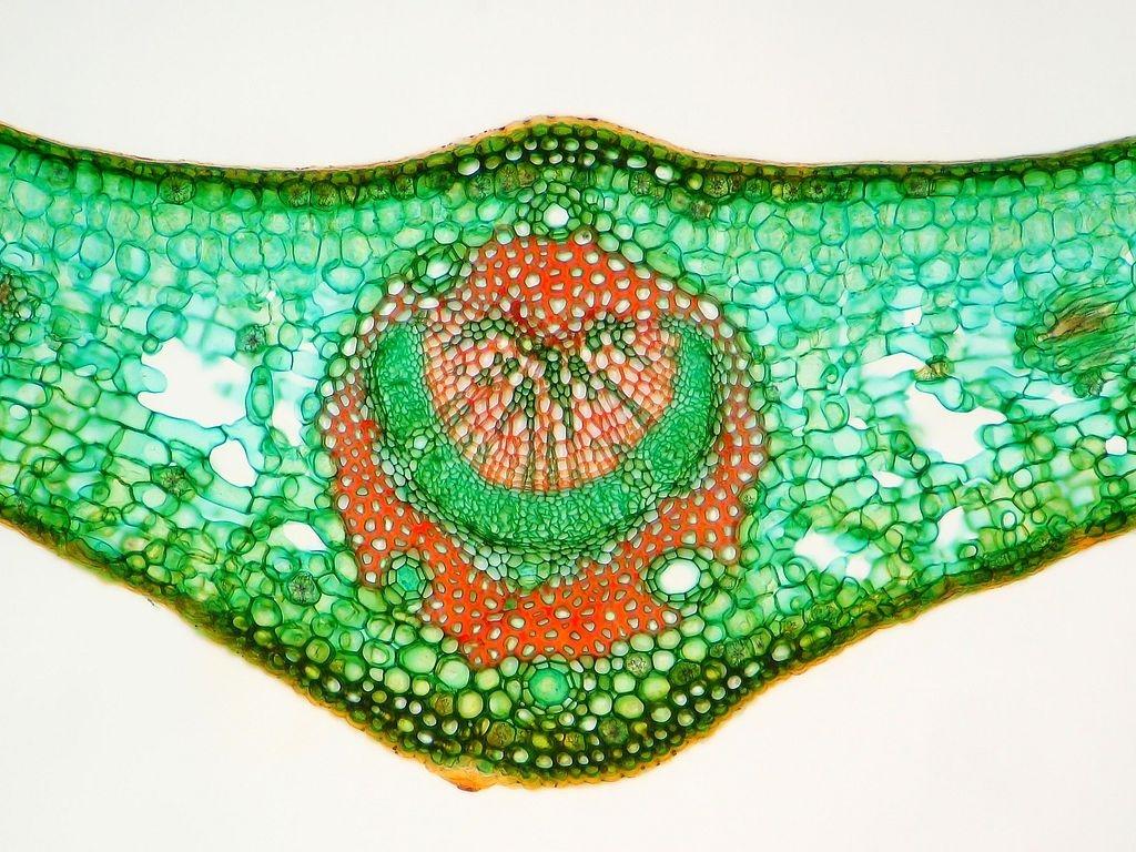 Botanik: Sonnenblätter beim Gemeinen Efeu - Hedera helix * + Diskurs ...