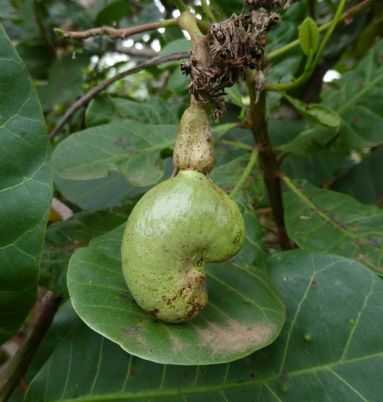 Botanik Die Cashew Nuss