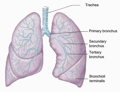 Beste Anatomie Des Lungensystem Fotos - Anatomie Von Menschlichen ...