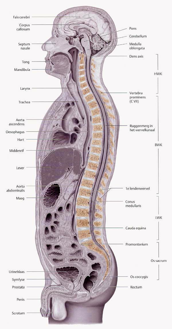 HISTOLOGIE: Wirbelsäule mit Rückenmark und Wirbelkörper eine Junge Maus