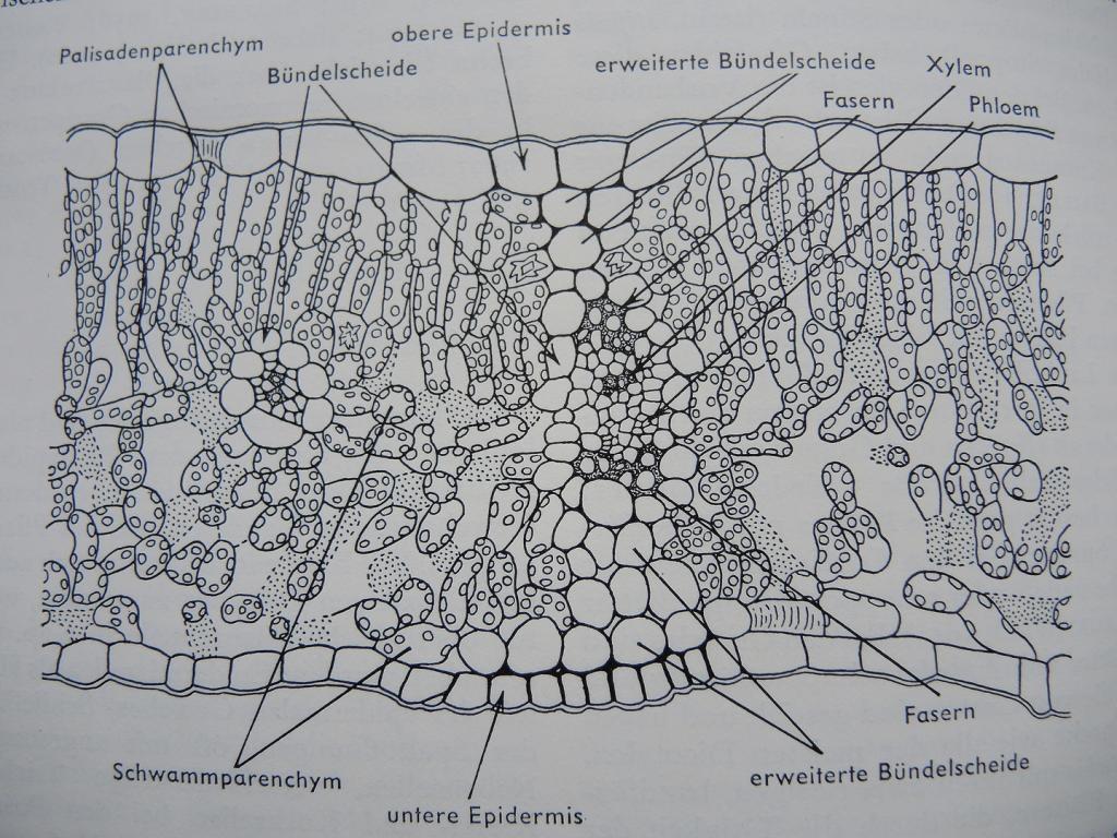 Botanik: Gelber Steinklee Melilotus officinalis, eine Heilpflanze